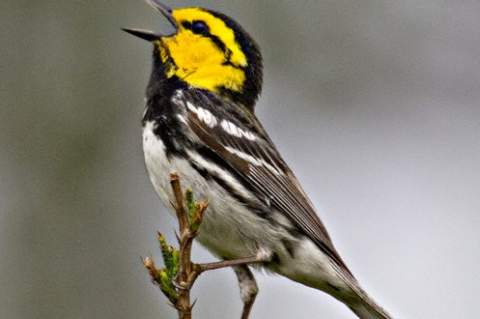 The Golden-Cheeked Warbler is a sure sign of spring. Photo by Greg Lasley